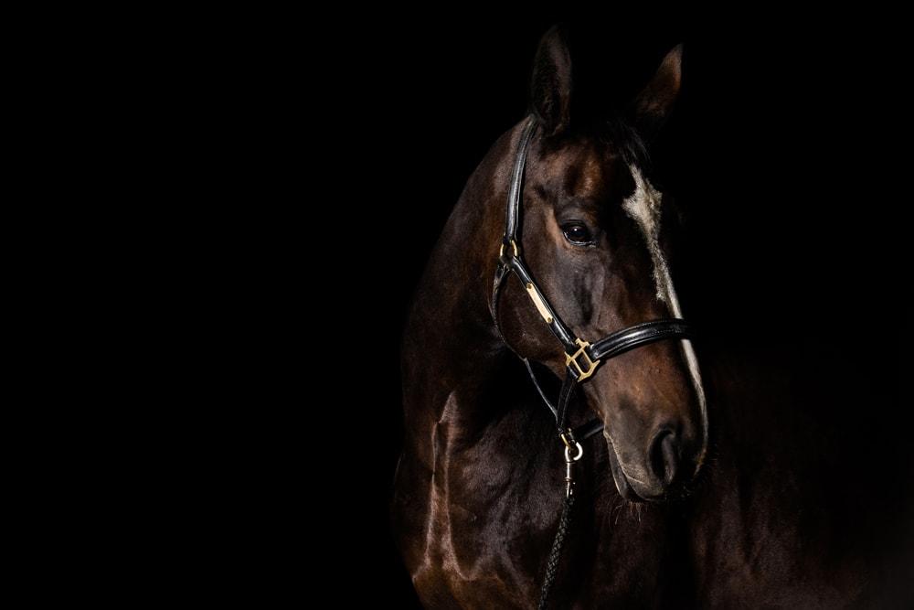 braunes Pferd mit weißer Blese und Halfer vor schwarzem Hintergrund