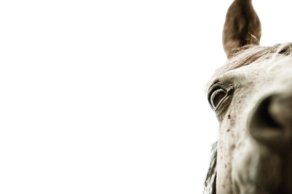 weisser Pferdekopf