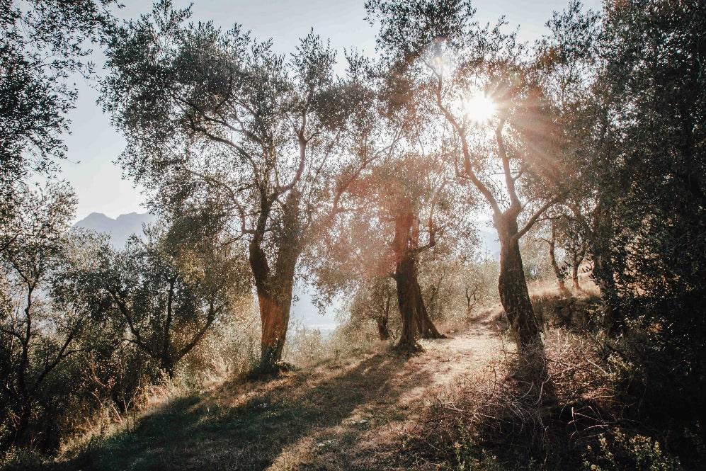 Olivenhaine Italien