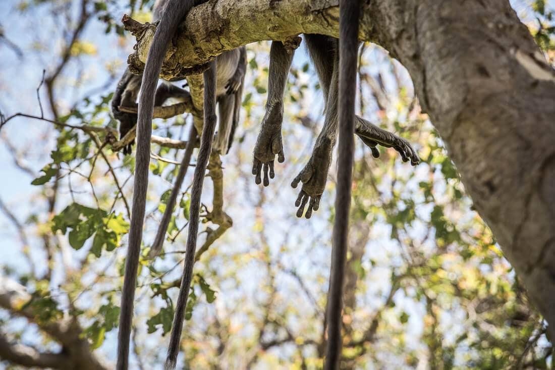 Affenfüße und Affenbeine hängen vom Baum