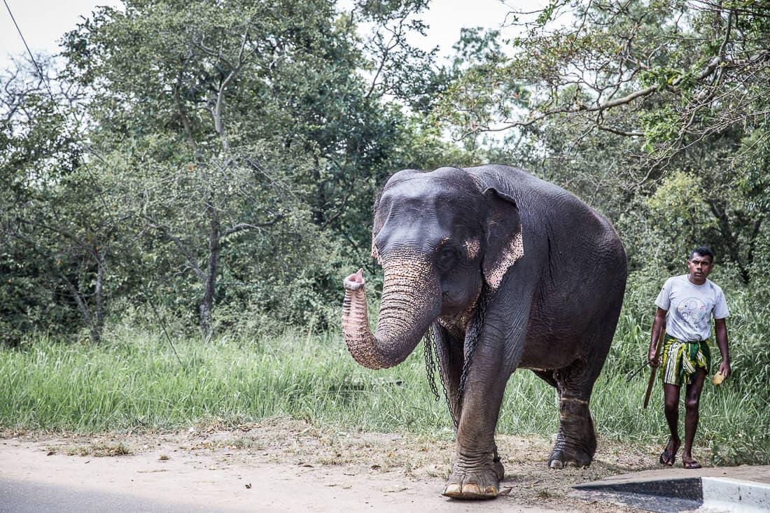 Elefant auf der Straße von Sri Lanka