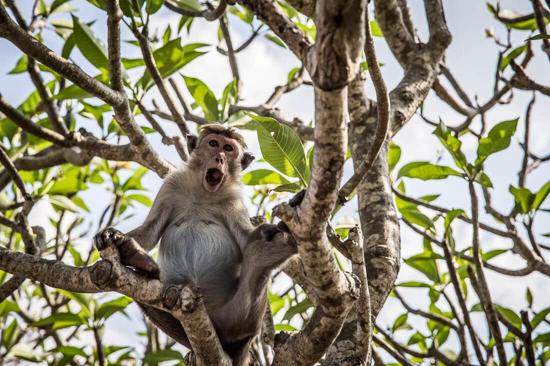 brüllender Affe in einem Baum in Sri Lanka