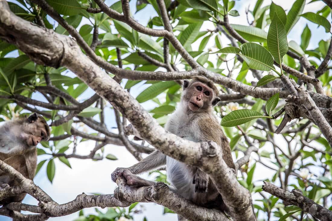 Zwei Affen im Baum in Sri Lanka