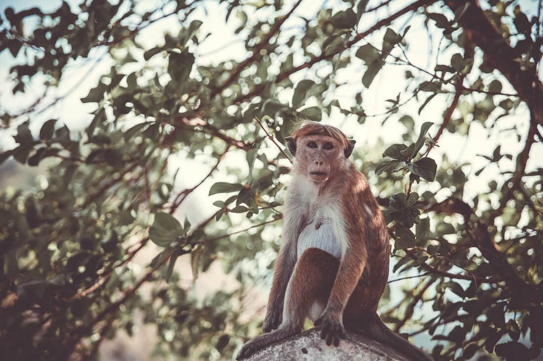 Affe auf einem Stein in Sri Lanka