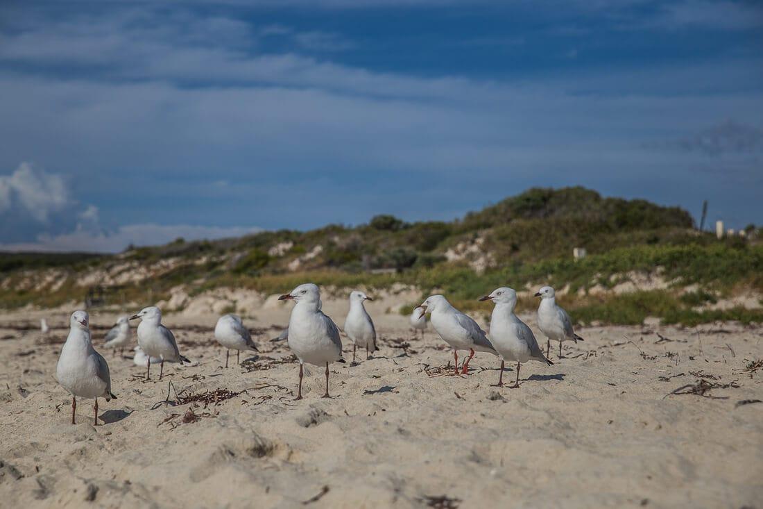 Möwen im Sand von Hamelin Bay