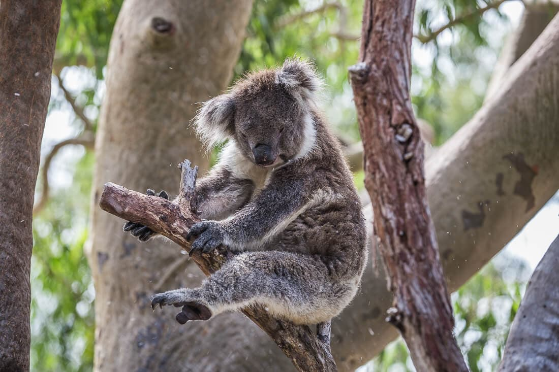 Koala im Yanchep Nationalpark Australien