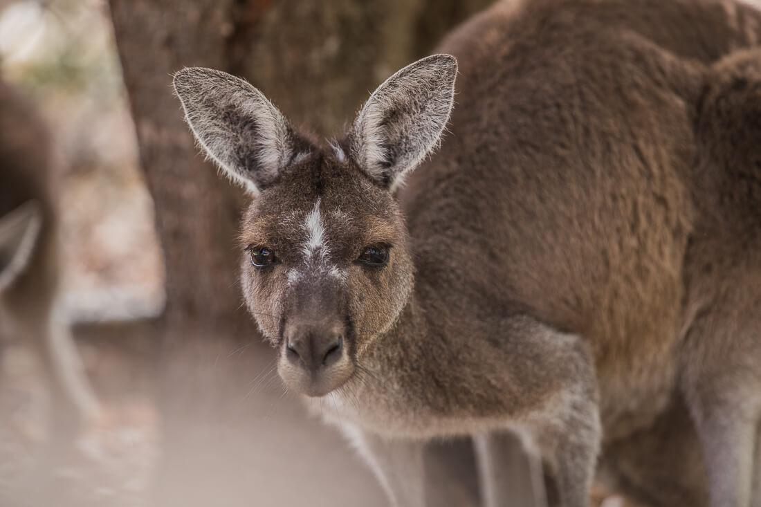 Känguru schaut in die Kamera