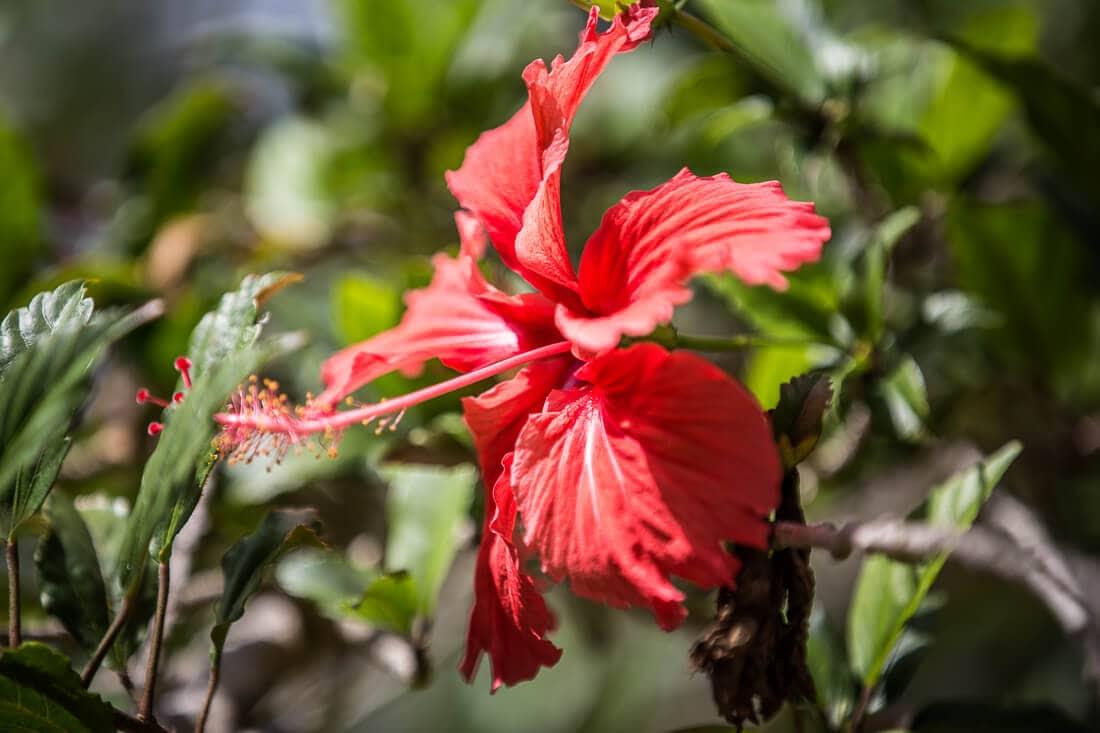 rote Blume im Yanchep Nationalpark