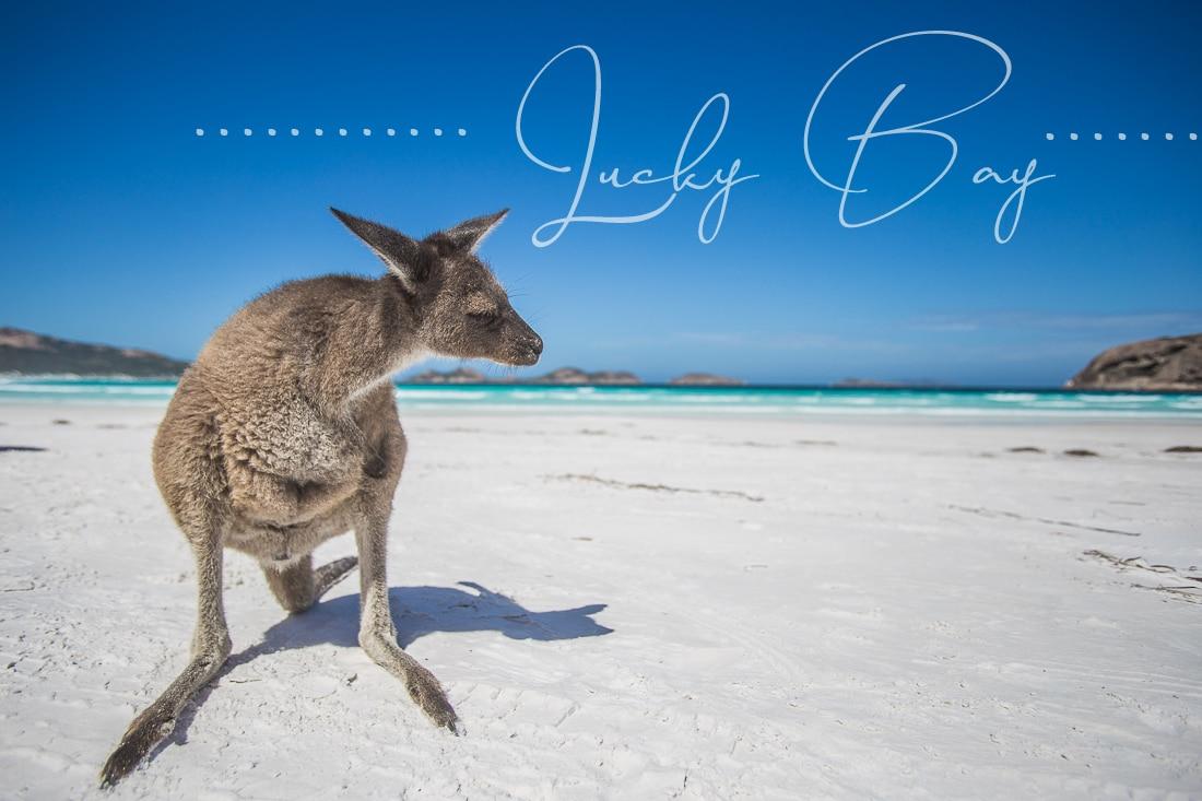Kängurus am Strand von Lucky Bay