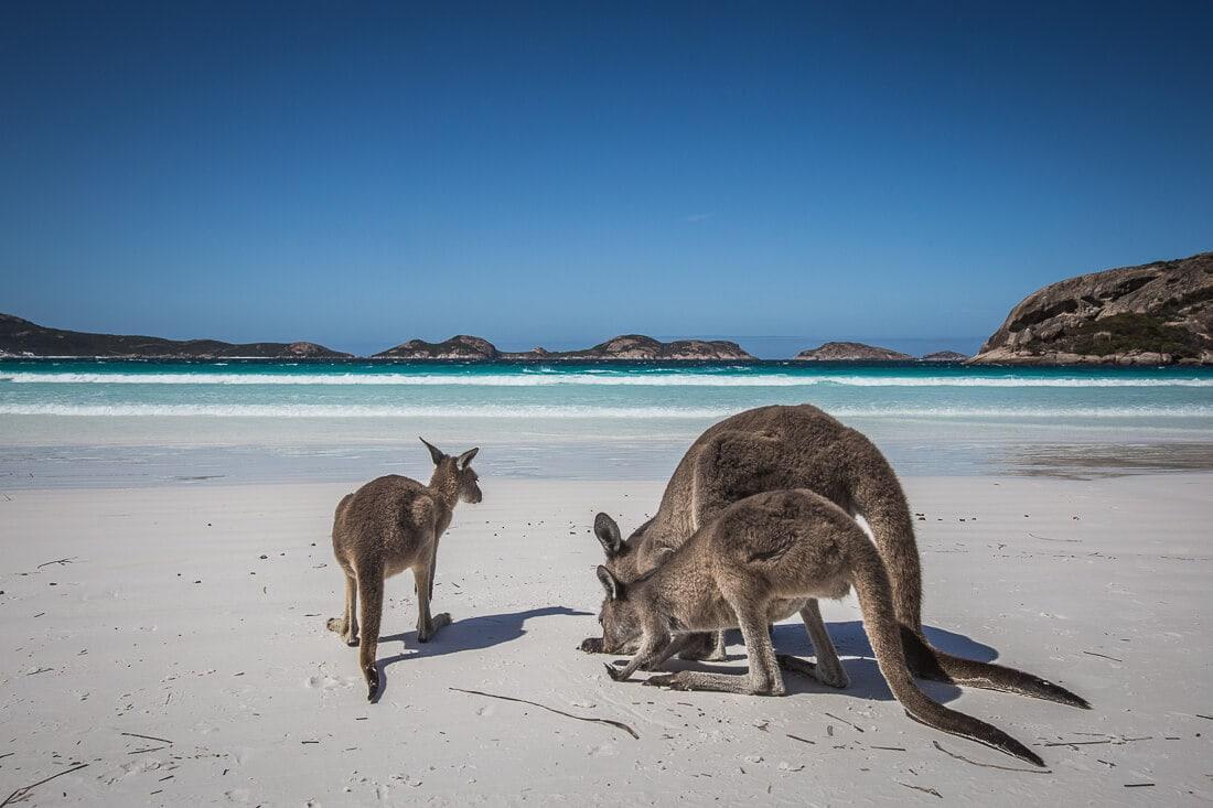 Känguru Familie am Strand