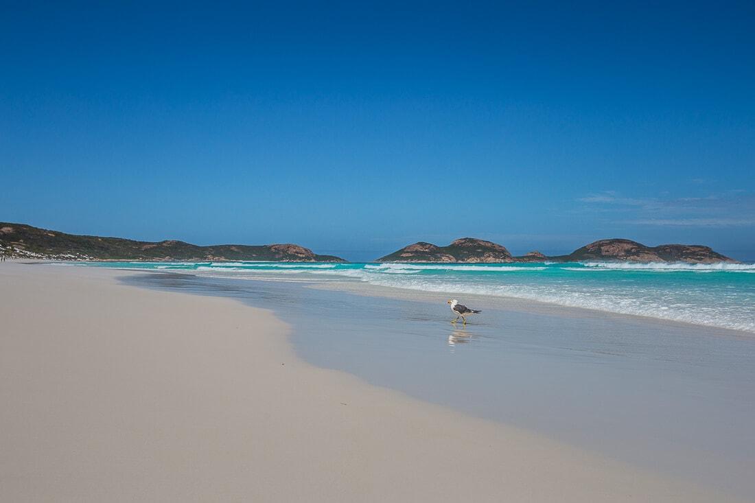 Möwe am Strand von Lucky Bay