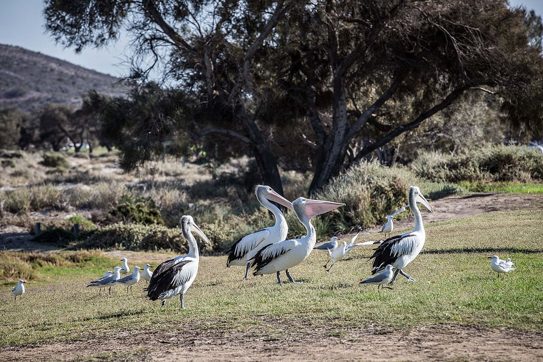 Pelikane in Kalbarri