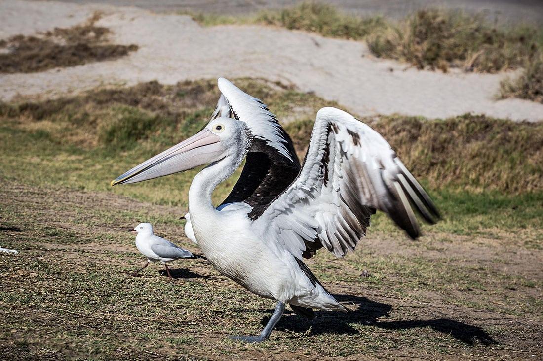 Pelikan in Kalbarri